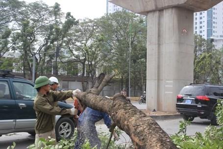 Chặt hạ những cây cổ thụ cuối cùng trên đường Nguyễn Trãi - ảnh 5