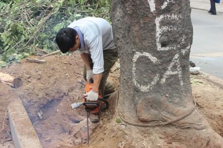 Chặt hạ những cây cổ thụ cuối cùng trên đường Nguyễn Trãi - ảnh 6