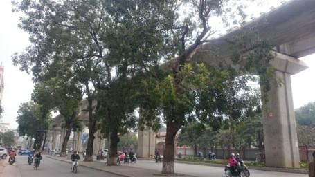 Chặt hạ những cây cổ thụ cuối cùng trên đường Nguyễn Trãi - ảnh 8