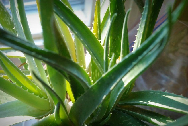 cây thải độc không khí - ảnh 10