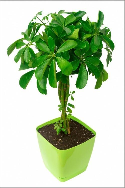 cây thải độc không khí - ảnh 6