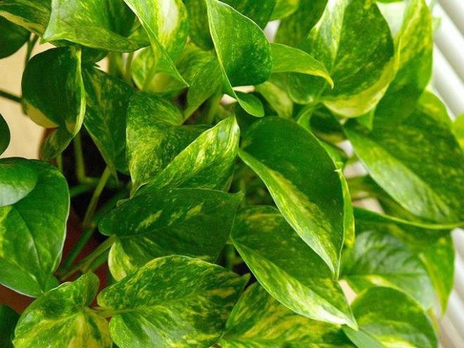 cây thải độc không khí - ảnh 7