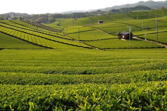 Say trà ở thiên đường trà sencha Nhật Bản - ảnh 2