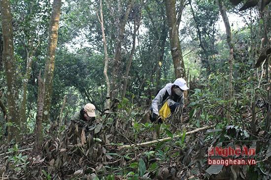 Mùa lượm hạt dẻ ở miền tây Nghệ An - ảnh 2