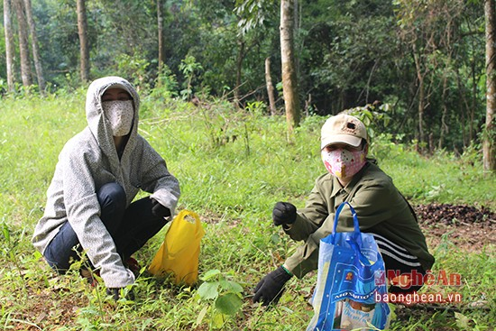 Mùa lượm hạt dẻ ở miền tây Nghệ An - ảnh 4