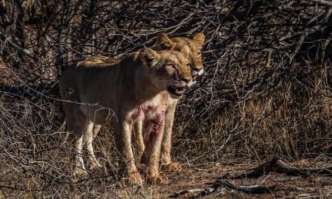 Hươu cao cổ tuyệt vọng trong vòng vây sư tử - ảnh 2