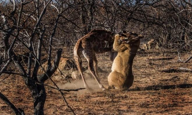 Hươu cao cổ tuyệt vọng trong vòng vây sư tử - ảnh 4