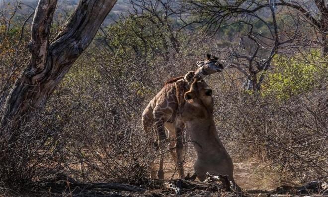 Hươu cao cổ tuyệt vọng trong vòng vây sư tử - ảnh 5