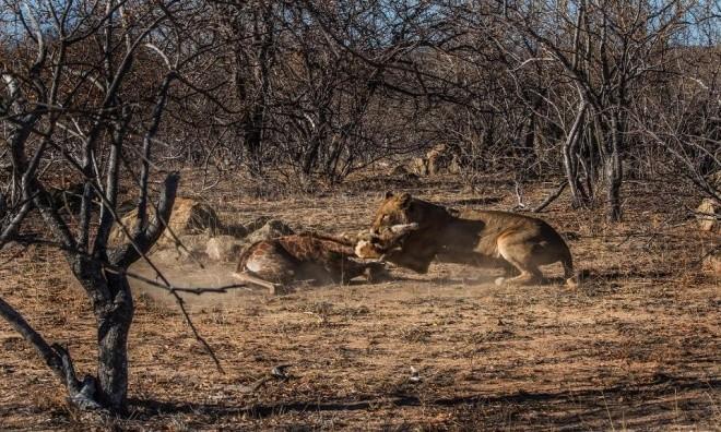 Hươu cao cổ tuyệt vọng trong vòng vây sư tử - ảnh 8