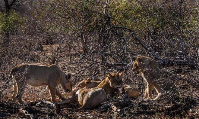 Hươu cao cổ tuyệt vọng trong vòng vây sư tử - ảnh 9
