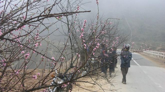 Chợ hoa đào Sa Pa trong giá lạnh 10 độ C - ảnh 1