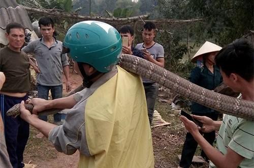 Rắn hổ mang khổng lồ ở Phú Thọ có tên trong sách đỏ - ảnh 1