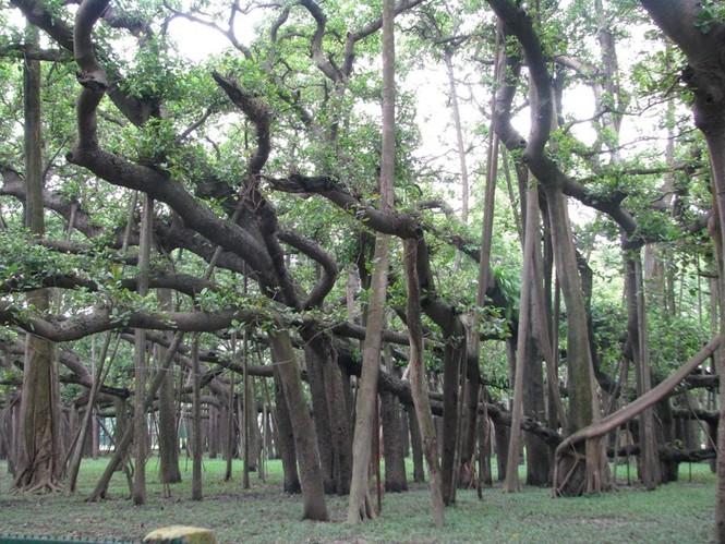 cây lớn nhất thế giới - ảnh 4