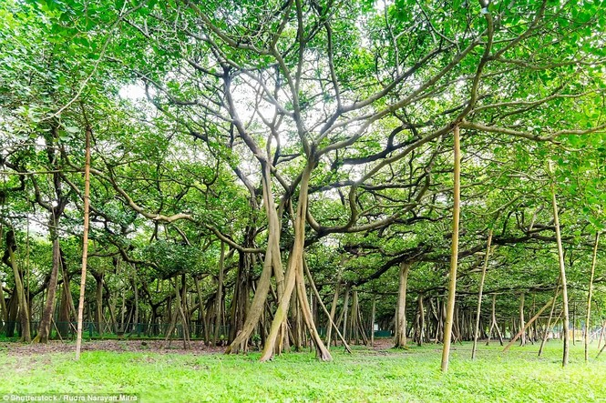 cây lớn nhất thế giới - ảnh 6