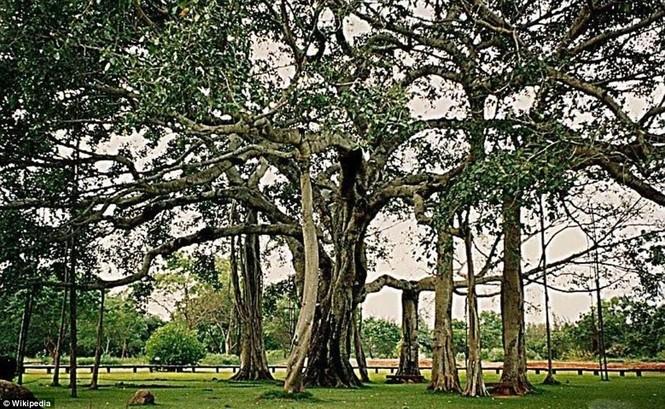 cây lớn nhất thế giới - ảnh 7