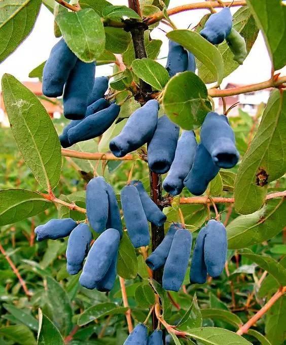 20 loài trái cây hiếm thấy trên Trái Đất, 99% người không biết hết tên - ảnh 13