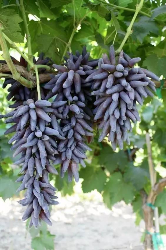 20 loài trái cây hiếm thấy trên Trái Đất, 99% người không biết hết tên - ảnh 9