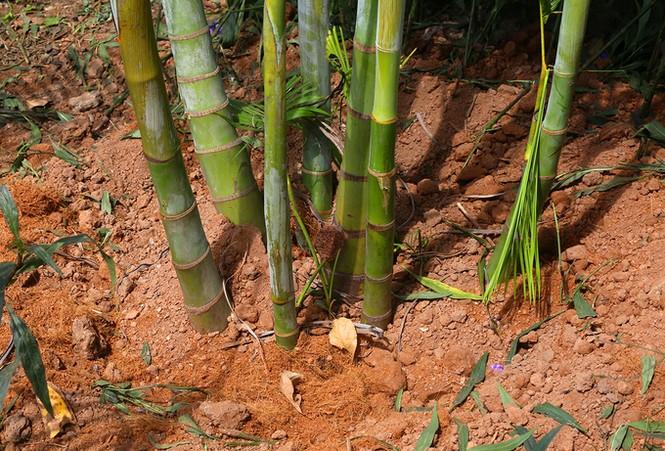 Hà Nội trồng cây cau cảnh dưới gầm đường sắt trên cao - ảnh 8