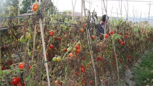 Nông dân ở Đơn Dương đã nhiều lần để cà chua thối quả tại vườn vì không có người mua