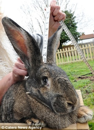 Chú thỏ lớn nhất thế giới nặng hơn 20 kg - ảnh 1