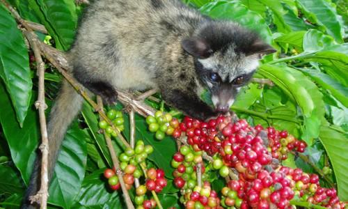 Thử nghiệm cho chồn ăn quả trên cây