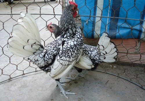 Dân chơi Sài Gòn mê mẩn vịt uyên ương, gà kiểng - ảnh 10