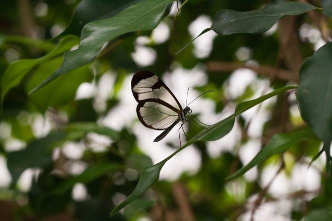 Lạ với loài bướm trong suốt đẹp lung linh - ảnh 8