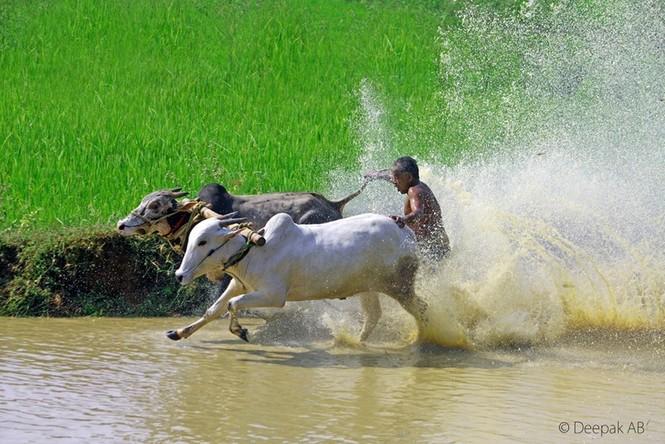Độc đáo lễ hội 'lướt' bò ở Ấn Độ - ảnh 2