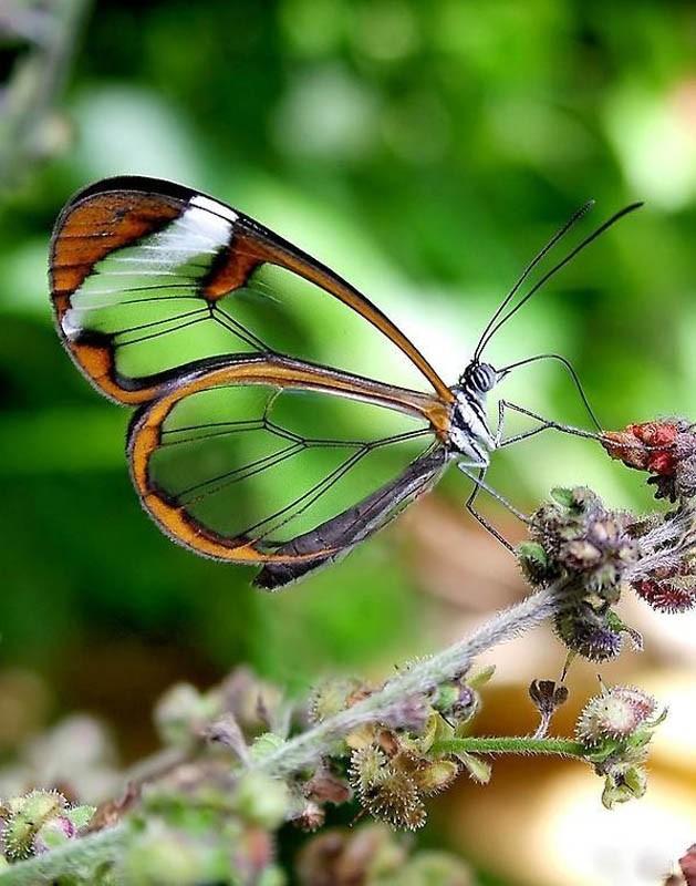 Lạ với loài bướm trong suốt đẹp lung linh - ảnh 6