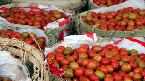 Cà chua ở Đơn Dương được đóng hàng đưa về TP.HCM