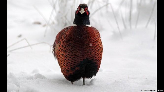 Một chú chim đang đứng co ro giữa băng tuyết tại vương quốc Anh. Tại đây, nhiệt độ đã xuống tới -12 độ C. Ảnh: Getty Images