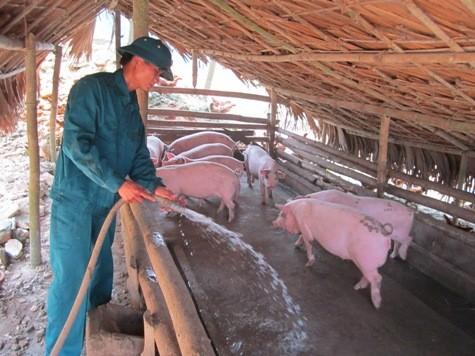 Và hơn 40 con lợn thương phẩm