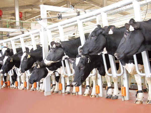 Đàn bò của TH truemilk được gắn