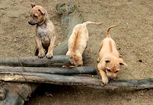Giống chó Phú Quốc có dải lông mọc ngược ở lưng, dân gian gọi là xoáy. Ảnh: Hoàng Phương