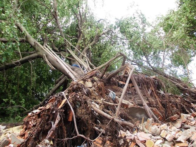 Nhiều cây cổ thụ ven sông Sài Gòn bị quật ngã