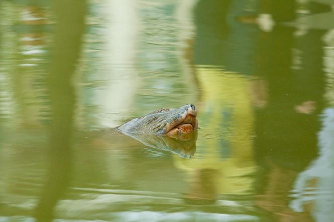Chùm ảnh: Rùa hồ Gươm lại nổi - ảnh 3