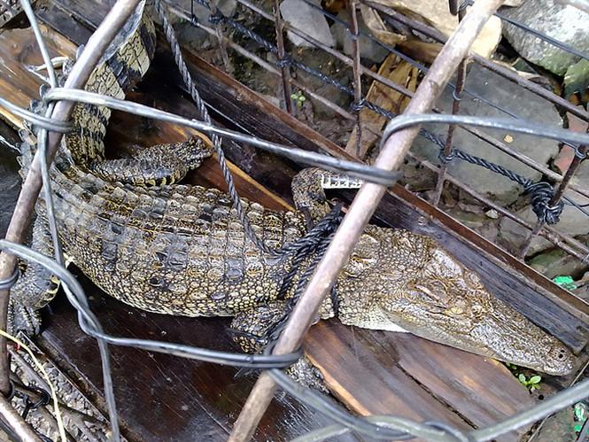 Con cá sấu bị bắt tại thôn Bình Khánh