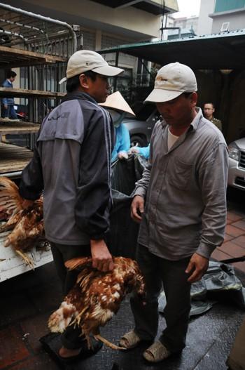 Bắt xe tải chở nửa tấn gà lậu tuồn về Hà Nội - ảnh 2