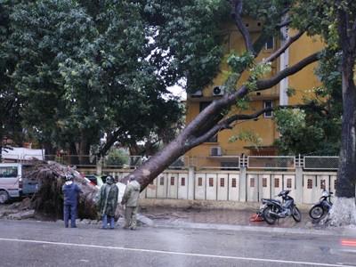 Hà Nội: Đổ cây xà cừ to nhất phố Nguyễn Du - ảnh 1