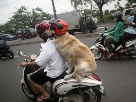 Chó đội mũ bảo hiểm ngồi sau xe như người - ảnh 1