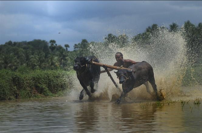 Độc đáo lễ hội 'lướt' bò ở Ấn Độ - ảnh 4