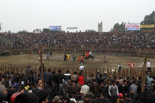 Lễ hội chọi trâu Hải Lựu 2012 thu hút hàng nghìn du khách tham dự