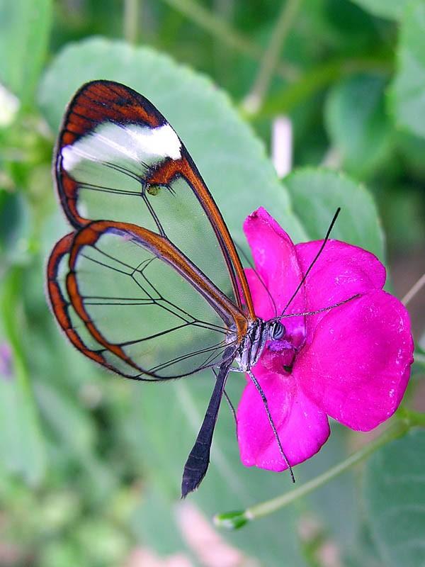 Lạ với loài bướm trong suốt đẹp lung linh - ảnh 1