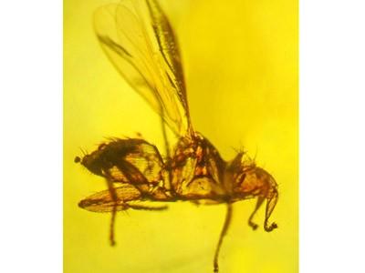 Hóa thạch ruồi dơi được bảo quản trong hổ phách