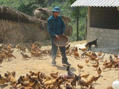 Đàn gà hơn 1000 con của anh Tâm sắp sửa được xuất chuồng
