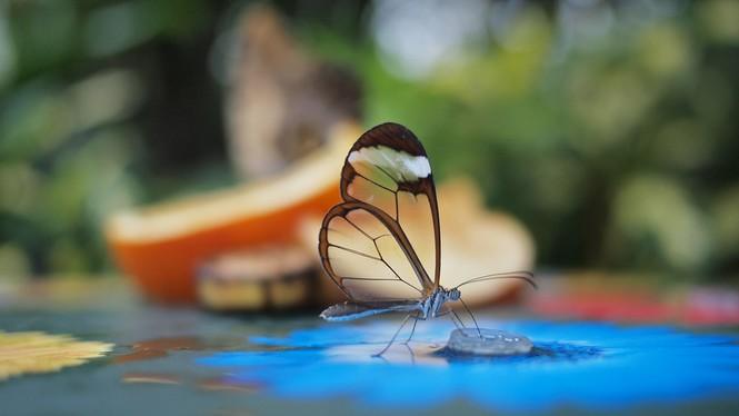 Lạ với loài bướm trong suốt đẹp lung linh - ảnh 10