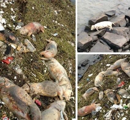 Chủ trang trại vứt 6.000 xác lợn chết xuống sông - ảnh 3