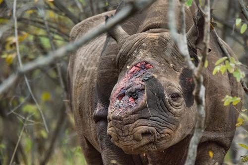 Con tê giác đen bị bọn săn trộm tấn công và cắt mất 2 sừng, đang đi lang thang tại khu bảo tồn ở Zimbabwe.