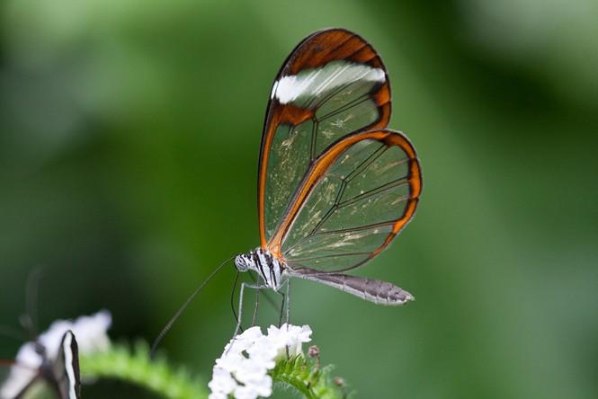 Lạ với loài bướm trong suốt đẹp lung linh - ảnh 7