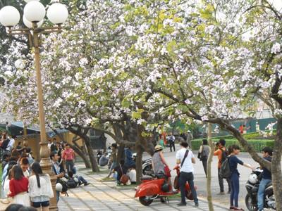 Giới trẻ Hà thành hào hứng với mùa hoa ban - ảnh 1